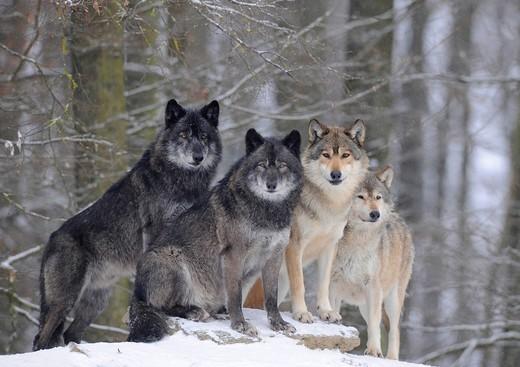 [Obrazek: wilk-kanadyjski-canis-lupus-occidentalis558.jpg]