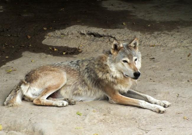 [Obrazek: wilk-kaspikski-canis-lupus-cubanensis1271.jpg]
