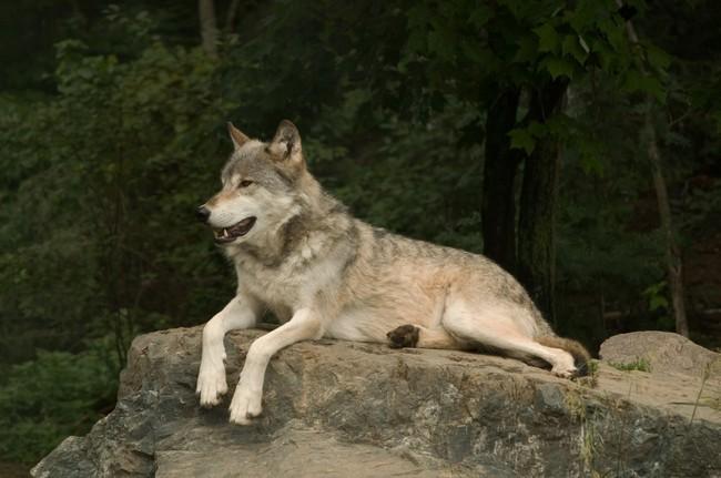 [Obrazek: wilk-lesny-canis-lupus-nubilus1185.jpg]