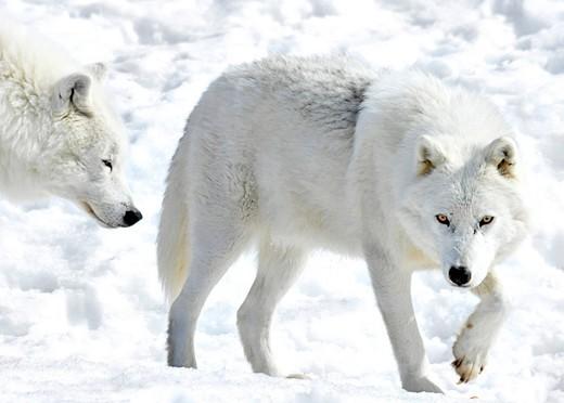 [Obrazek: wilk-polarny-canis-lupus-arctos550.jpg]