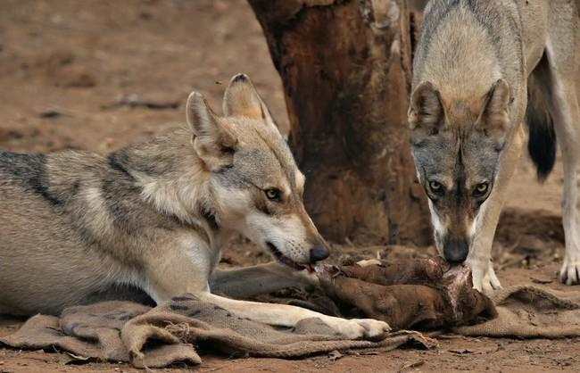 [Obrazek: wilk-poludniowoazjatycki-canis-lupus-pallipes1209.jpg]