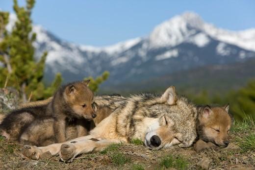 [Obrazek: wilk-szary-canis-lupus0517.jpg]