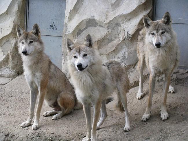 [Obrazek: wilk-tybetanski-canis-lupus-laniger1278.jpg]