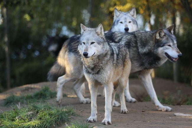 Wilk (Canis lupus) opis gatunku Zdjęcie wilków szarych