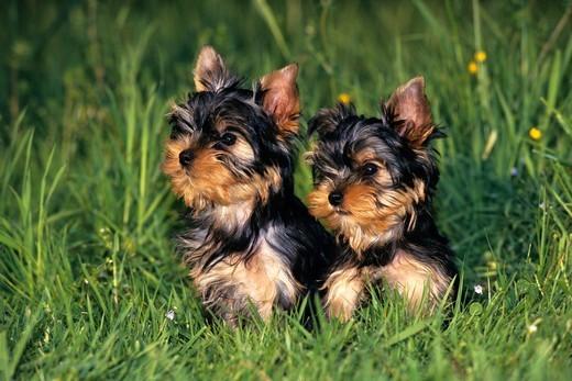 Szczeniaki rasy Yorkshire Terrier
