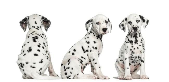 Trzy słodkie szczeniaki z filmu 101 Dalmatyńczyków