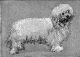 Zdjęcie Maltańczyka z 1911 roku