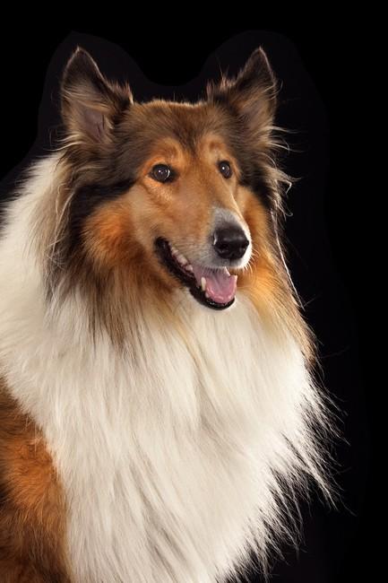 Sławna suczka z filmu Lassie wróć!