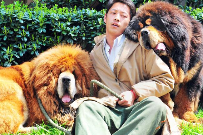 Mastify tybetańskie kupione przez chińskiego biznesmena