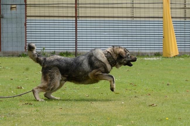Mondioring atak psa owczarka kaukaskiego na pozoranta