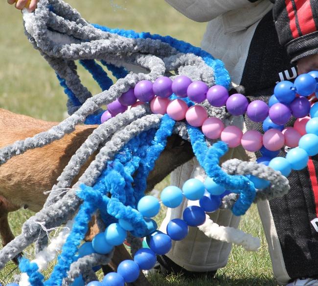 Owczarek belgijski biorący udział w psim sporcie mondioring u