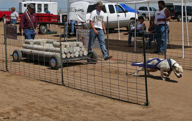 psi sport w przeciaganiu ciężarów przez psa