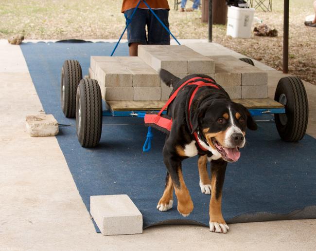 WEIGHT PULLING czyli psie przeciąganie ciężarów