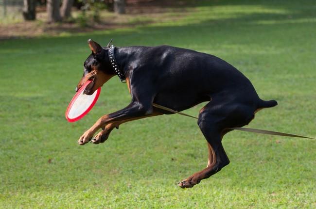 Dog frisbee z psem Dobermanem