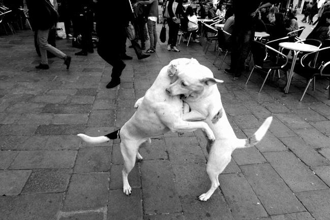 Walka psów na ulicy