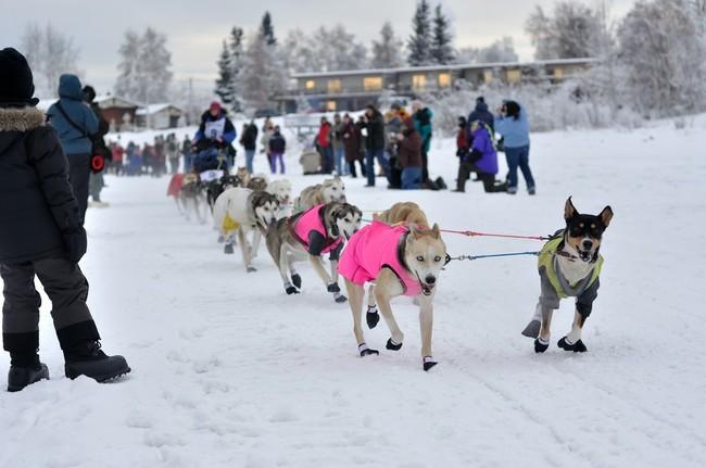 Zespół psów zaprzęgowych biorący udział w wyścigach psów zaprzęgowych na Alasce