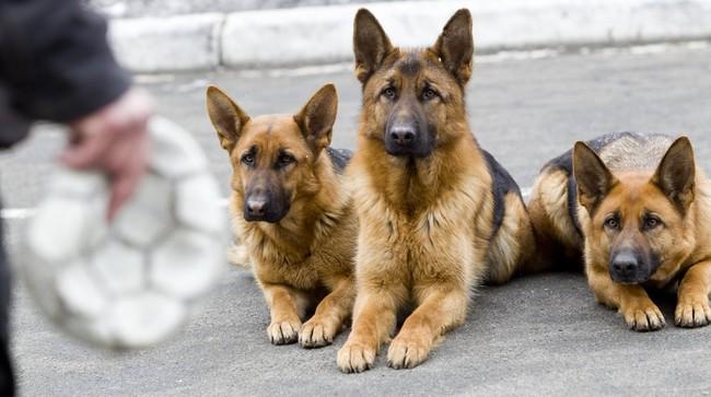Owczarki niemiecki podczas szkolenia na psa służbowego