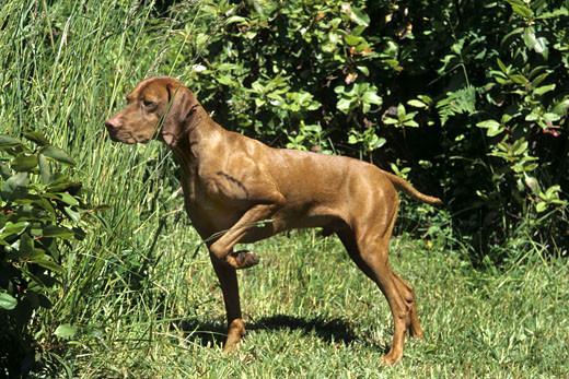 Stójka u psa mysliwskiego Wyżła węgierskiego