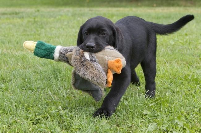 szkolenie młodego labradora aportu