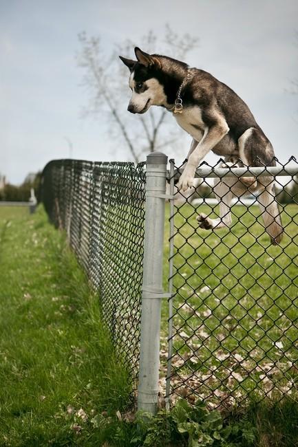 Ucieczka psa Syberian husky z posesji