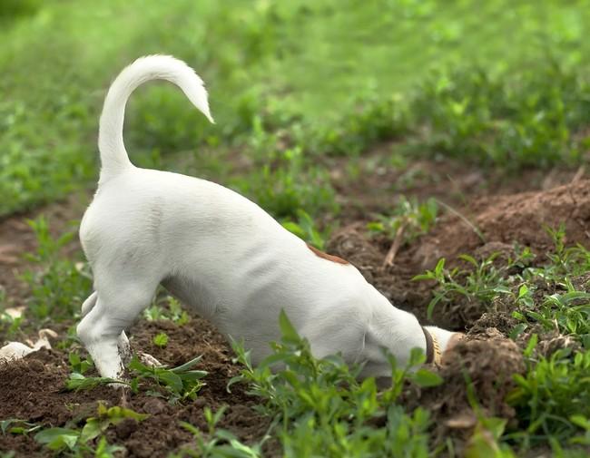 jak oduczyć psa kopania dołów w ogrodzie