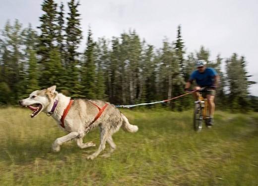 Psi sport Bikejoring  z psem Siberian husky