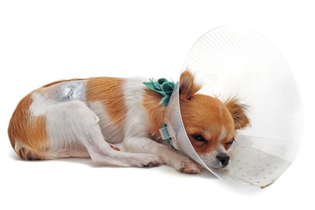 Chihuahua po operacji w kołnierzu ochronnym