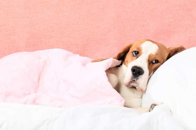 Mój beagle jest chory