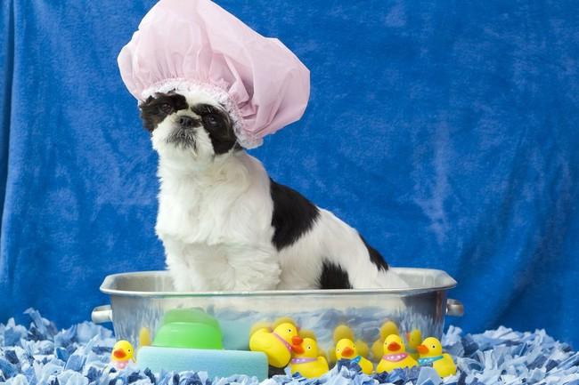 Pierwsza kąpiel szczeniaka Shih Tzu
