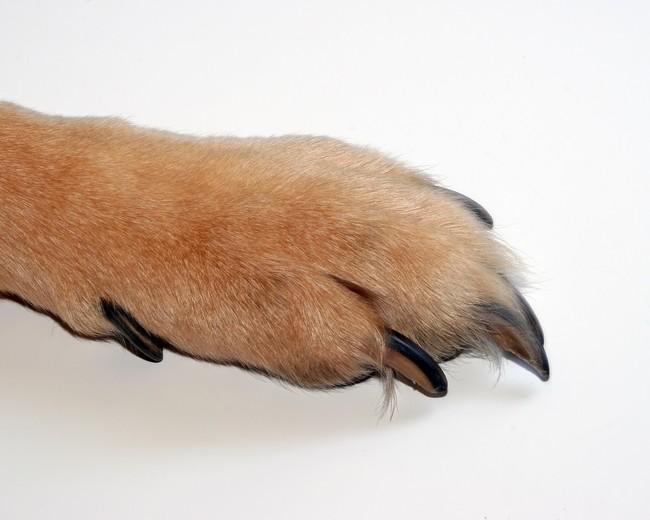 Łapa psa