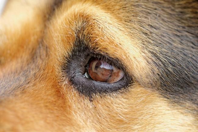Jak bdać o oczy u psa