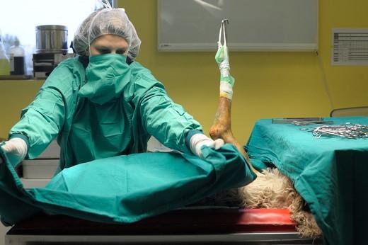 jak przygotować psa do zabiegu chirurgicznego Pies poddany narkozie i trwające przygotowania do operacji