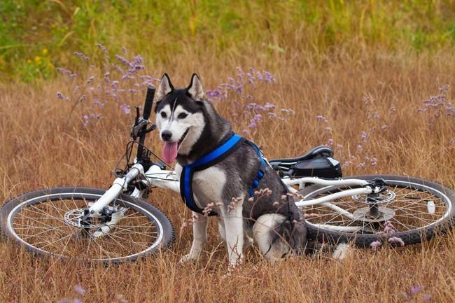 Syberian husky odpoczywający po biegu przy rowerze