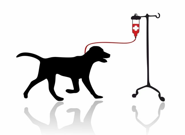 Transfuzja krwi u psa