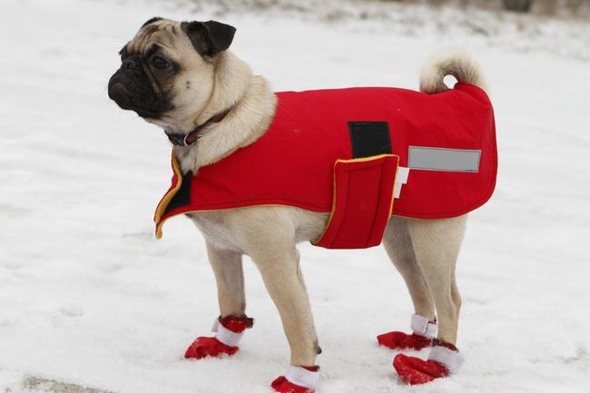 Jak chronic psa mopsa przez zimnem