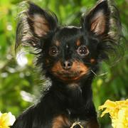 Rosyjski toy terrier