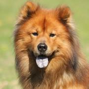 Pies rasy Eurasier