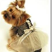 Piesek Yorkshire terrier