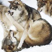 Walczące wilki