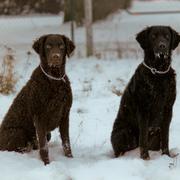 Dwa psy i zima