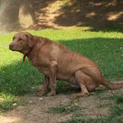 Pies i upał