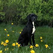 Pies i żonkile