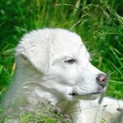 Biały szczeniak
