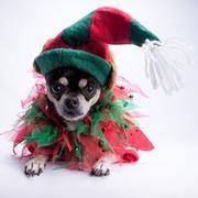 Chihuahua i Święta