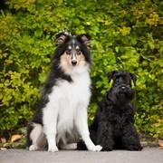 Collie i Sznaucer