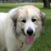 Duży pies pirenejski