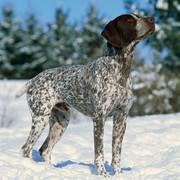 Myśliwski pies
