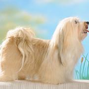 Pies długowłosy