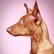 Pies Faraonów