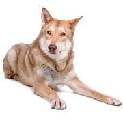 Pies jak Wilk